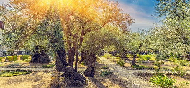 The Garden of Gethsemane in the Holy Land